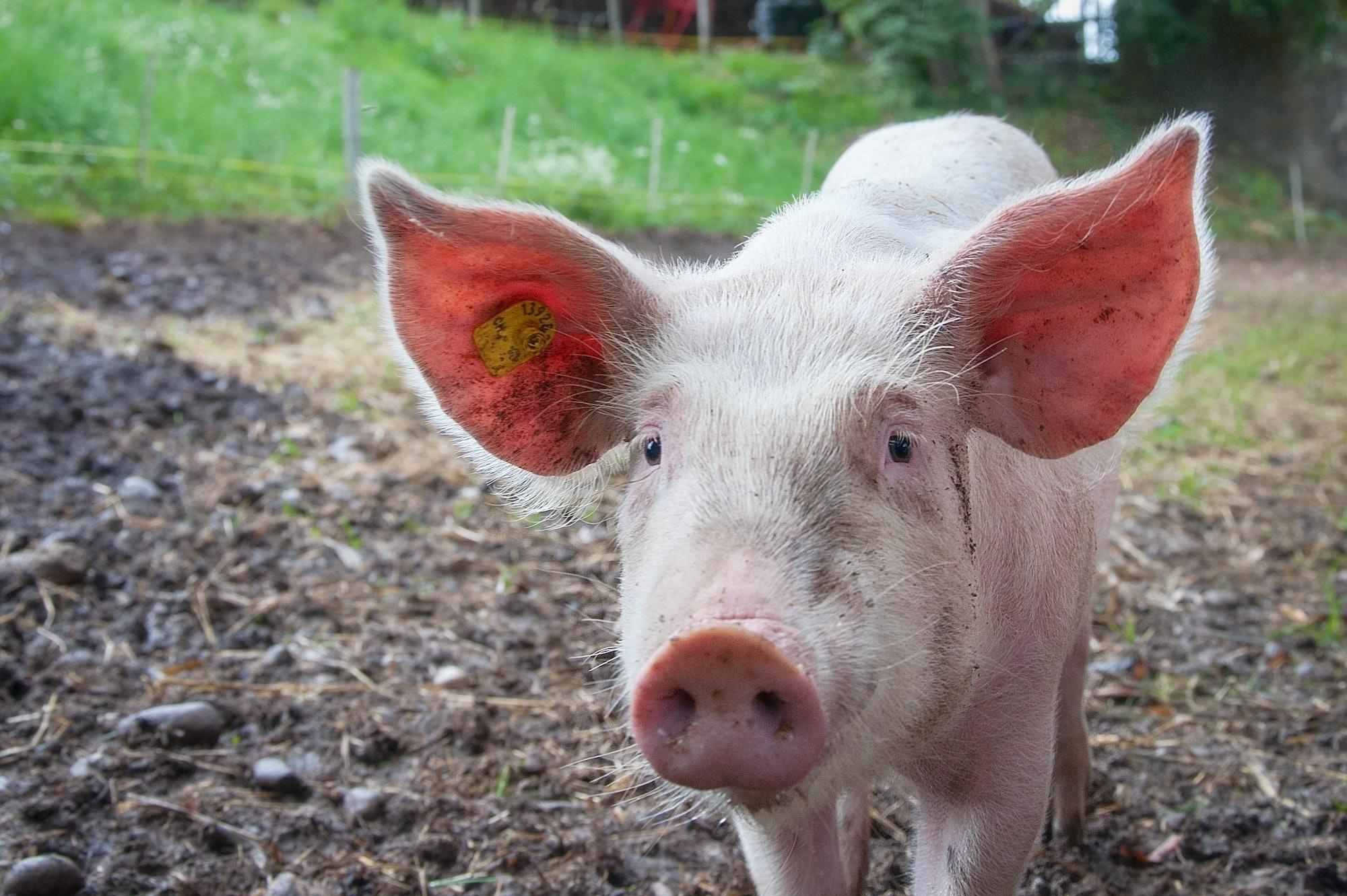 Pig parts organs xenotransplantation