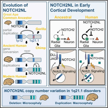 NOTCH2NL genes