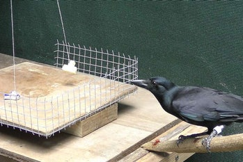 A New Caledonian crow is trained to determine which of two boxes is heavier by watching a fan blow them around.