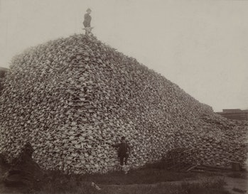 bison skulls