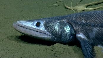 deepsea lizard fish hunting seafloor