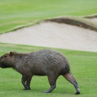 Capybaras Have Stormed the Olympic Golf Course