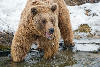 Bear standing in the cold water