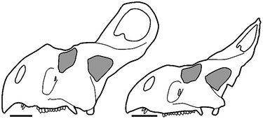 "Hypothetical large ""male"" at left (AMNH 6438) and hypothetical large ""female"" at right (AMNH 6466).Redrawn and modified after Brown and Schlaikjer"