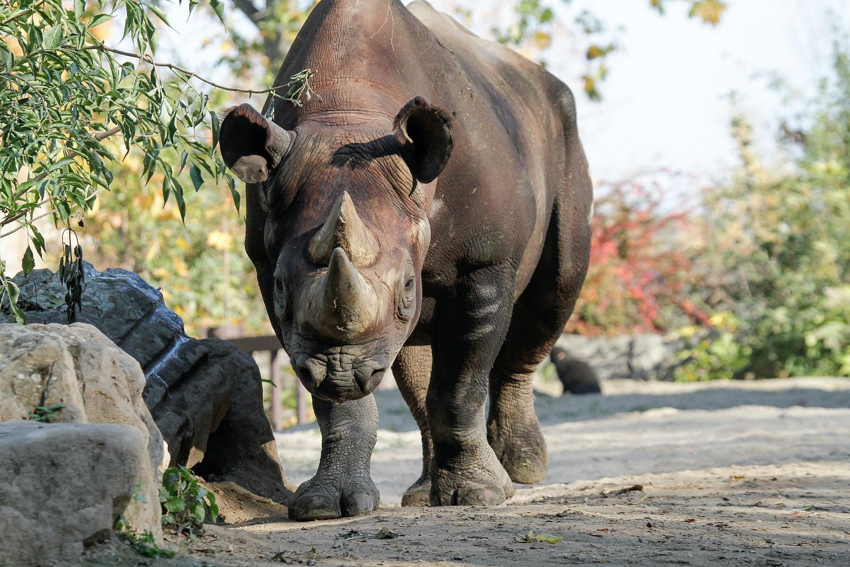 black rhino male
