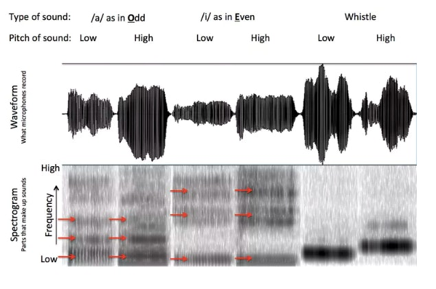 An analysis of singing and whistling. The top part of the figure shows the waveform of the sounds. The bottom part breaks the sound down into different frequencies. Dark parts mean that a certain frequency is strongly present and light parts mean it is absent. That's why the two vowels sound different. The acoustics of whistlingaremuch simpler.