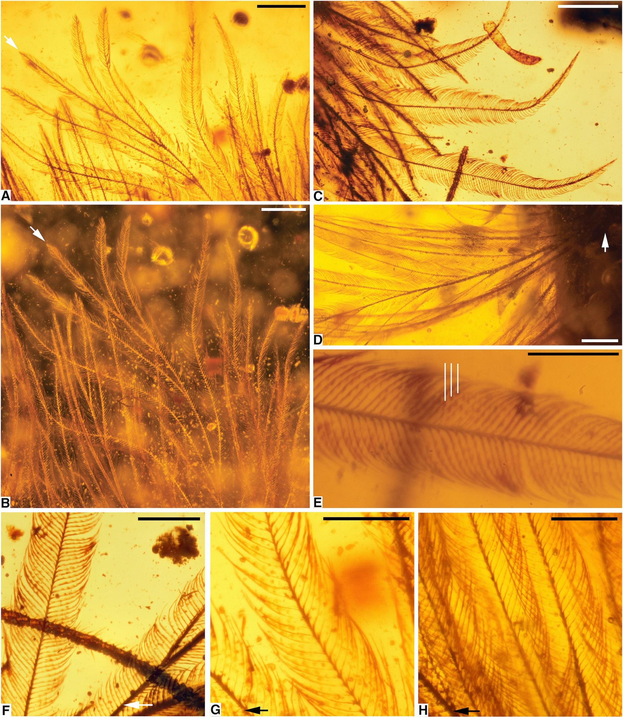 Photomicrographs of DIP-V-15103 Plumage