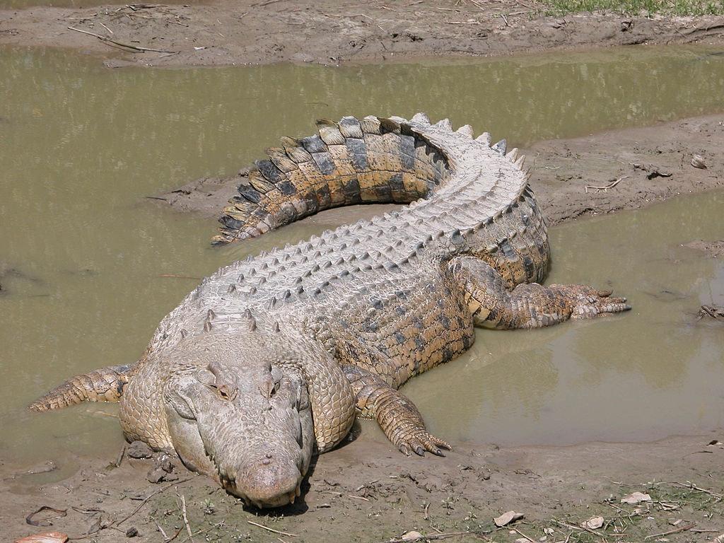 maximo saltwater crocodile
