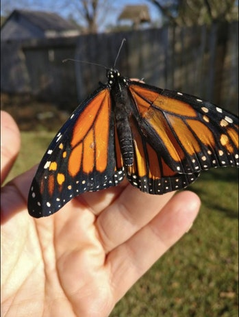 Repaired monarch butterfly wing