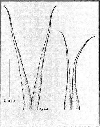 snake tongue sizes