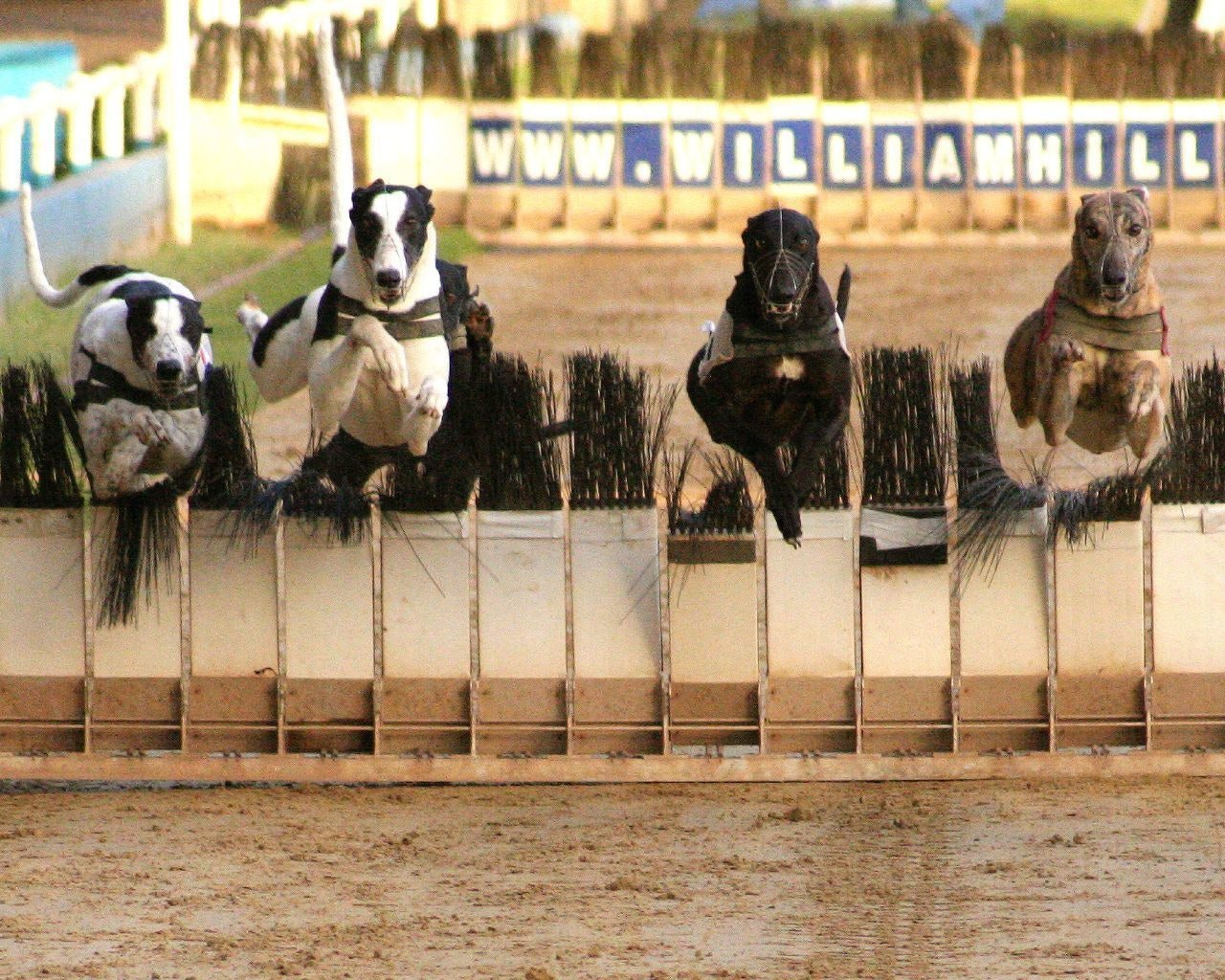 Dog racing at Wimbledon Stadium