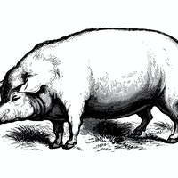 Scientists: No, you cannot kill 30 to 50 feral hogs with an automatic rifle