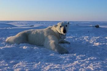 female polar bear seal GPS collar