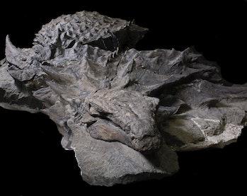suncor nodosaur royal tyrrell museum alberta