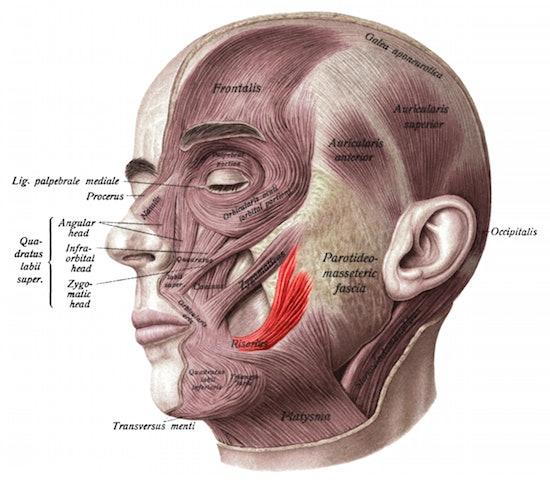 Risorius, facial muscle