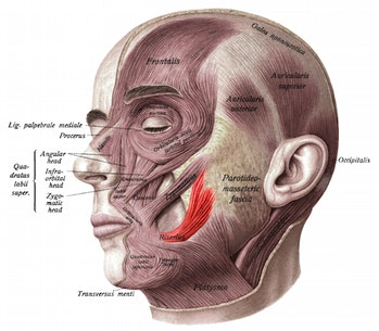 Risorius, facial muscle