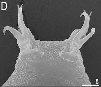 m. shonaicus tardigrade