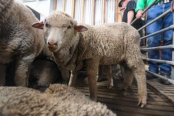 One of the merino lambs.