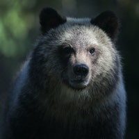 Bears Are Totally Fine With High Saturated-Fat Diets