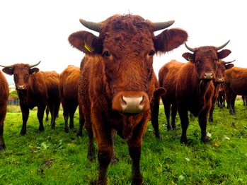 Livestock: the great resource-taker?