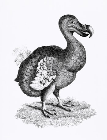Illustration of Dodo from Zoological lectures delivered at the Royal institution in the years 1806-7 by George Shaw (1751-1813).