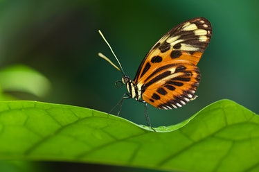 Heliconius ismenius, tiger longwing butterfly, perched on a leaf
