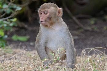 macaque human aging genes