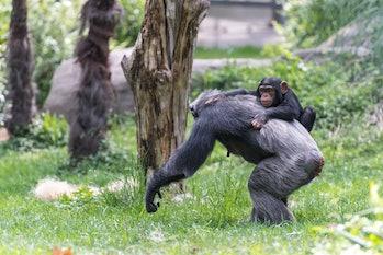 Little Chimp Climbing on Back