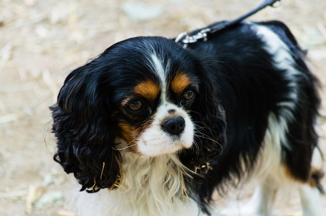 Image of: Spaniel Puppies Cavalier King Charles Spaniel Bustle The Best Dog Breeds For Fighting Depression