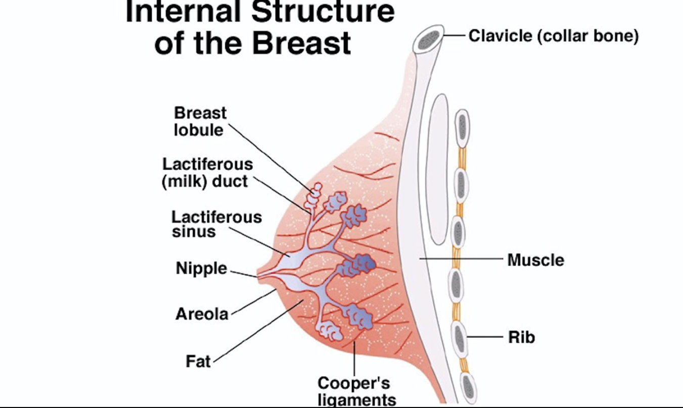 Breast ligaments