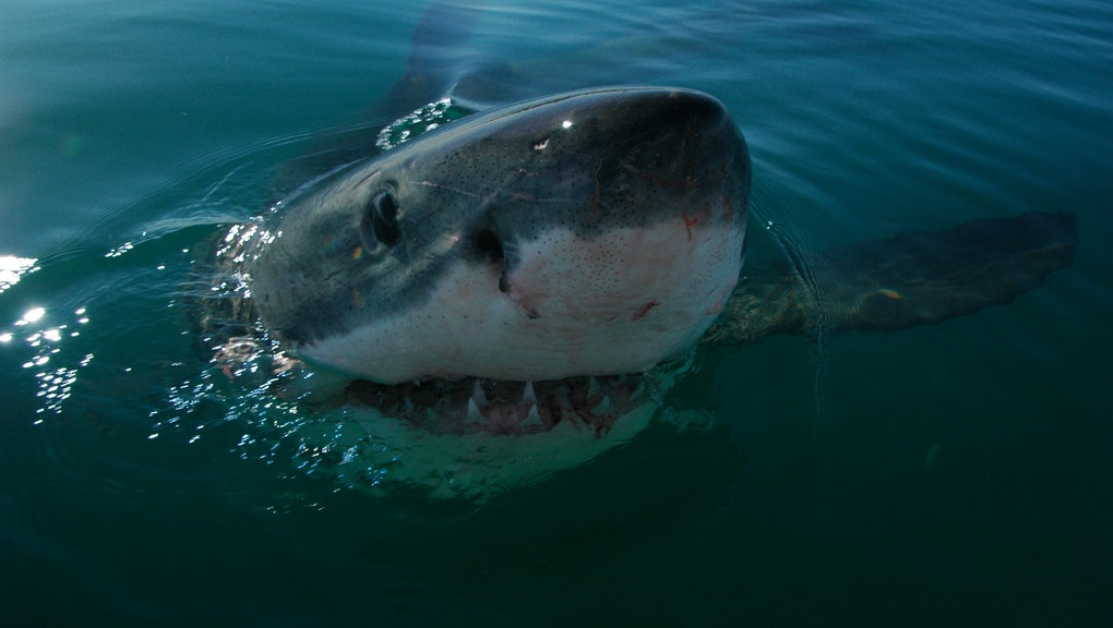 """This """"Accidentally Caught"""" Great White Shark Just Died in ..."""