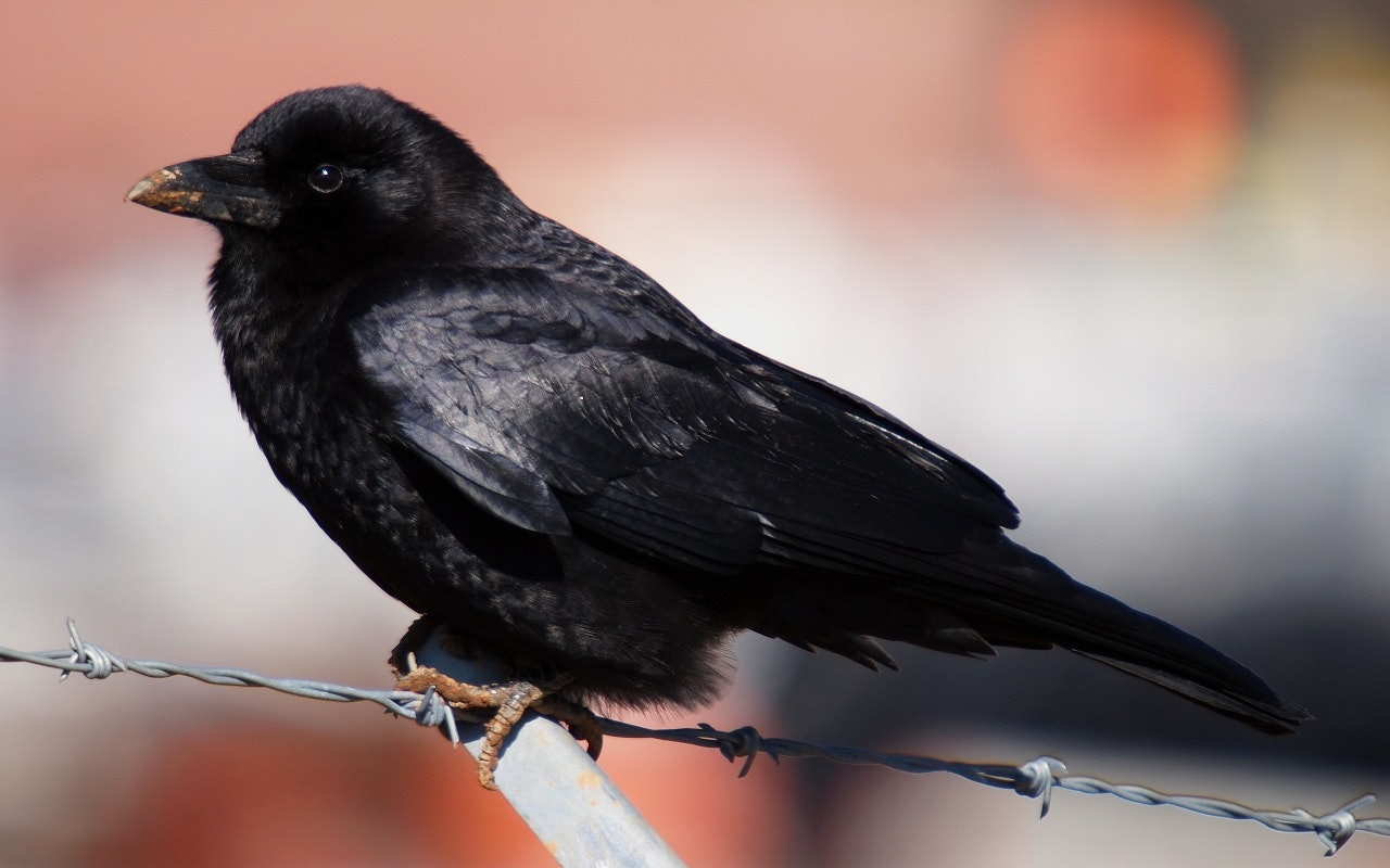 What Does A Tattoo Of A Crow Mean The History Of The Symbol Is