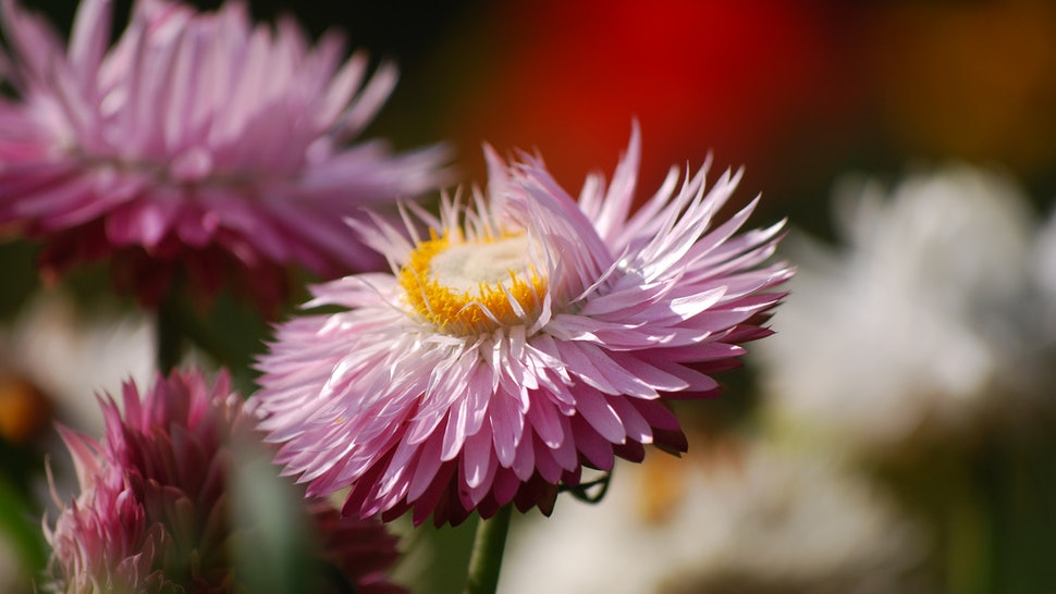 Use These Helichrysum Essential Oil Recipes To Heal Old