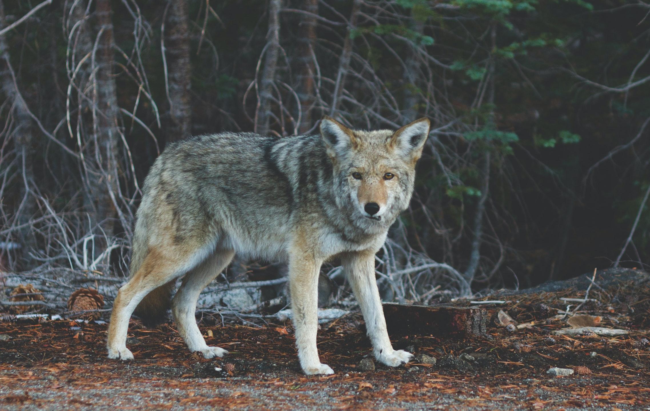 coyote woman slang