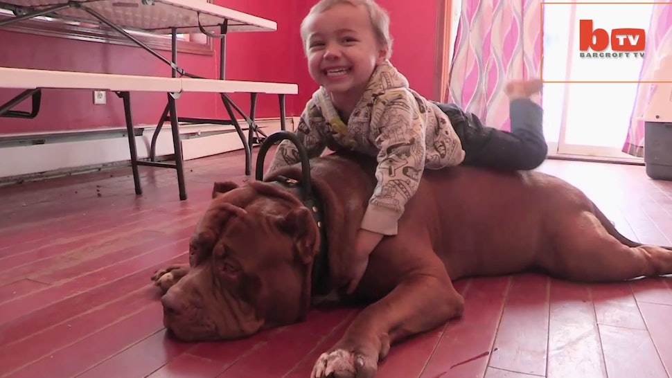 Hulk Is A 175-Pound Pit Bull With An Even Bigger Heart Whose