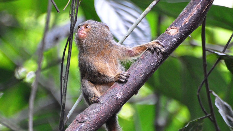 marmoset monkey average price
