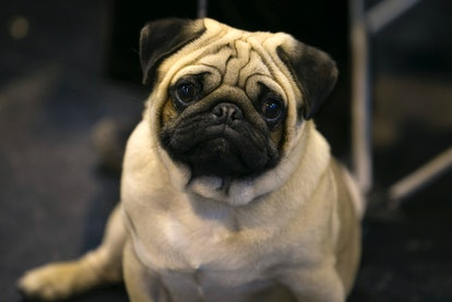 Pugs are one of the best dog breeds for fighting depression.