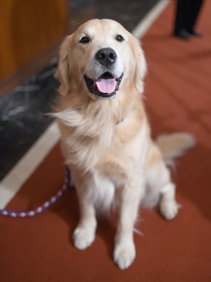 Golden Retrievers are one of the best dog breeds for fighting depression.