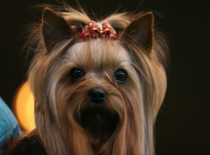 Yorkshire Terriers are one of the best dog breeds for fighting depression.
