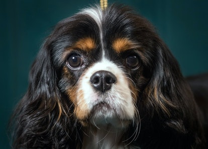 Cavalier King Charles Spaniels are one of the best dog breeds for fighting depression.