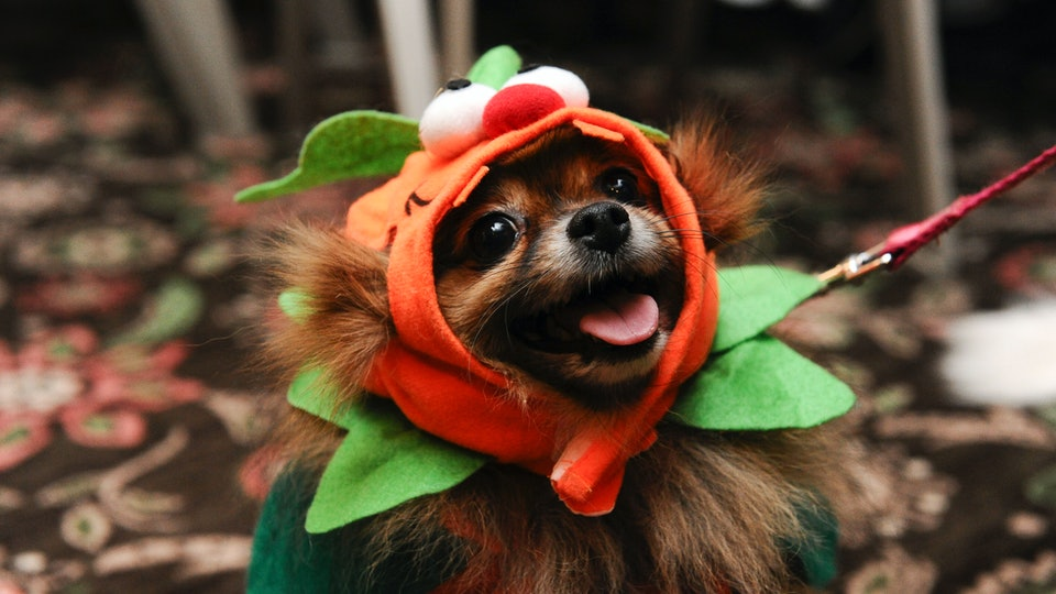 A dog dressed in costume for Halloween.