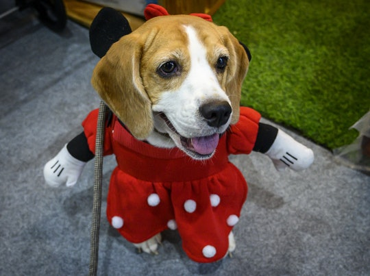 Dog wearing a Minnie Mouse costume