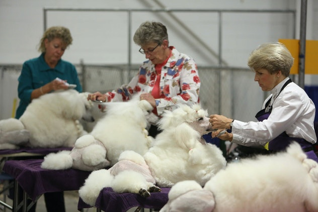 Photos from previous years' National Dog Shows detail just how pampered each pooch gets before the competition.
