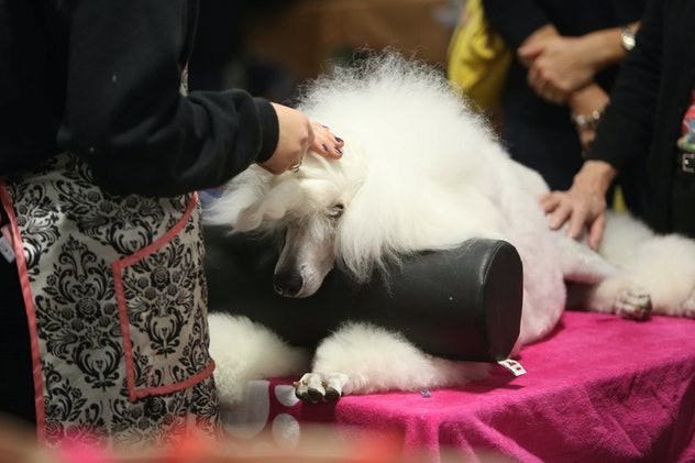 Some dogs require more grooming than others, as photos from previous years' National Dog Shows will show.