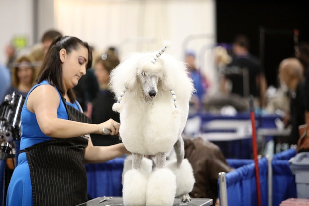 Photos from previous years' National Dog Shows shed light on some grooming secrets.