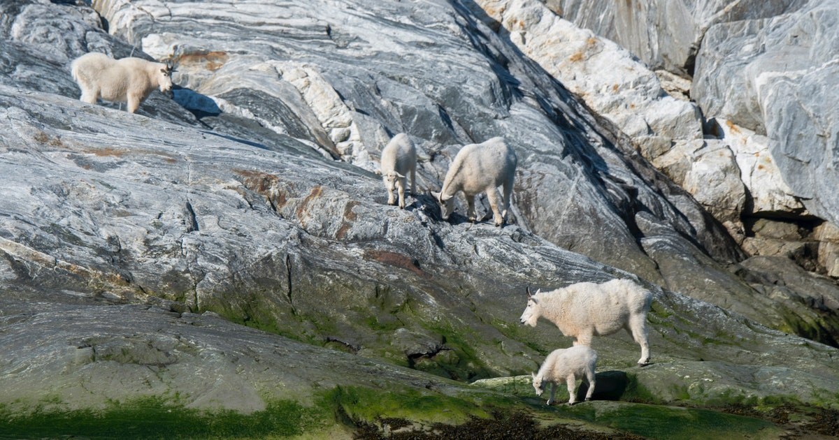 Glacier National Park mountain goats put at risk from rising temperatures