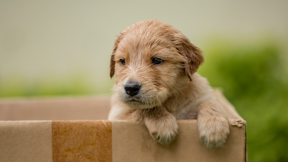 A brown puppy peaks out of a carboard box, resting their paws on the front and looking to the side. Puppies from pet stores may be carrying infections, the CDC says.