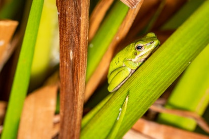 A green frog relaxes amongst green leaves. Accomplish the most difficult and urgent tasks before getting to the others.