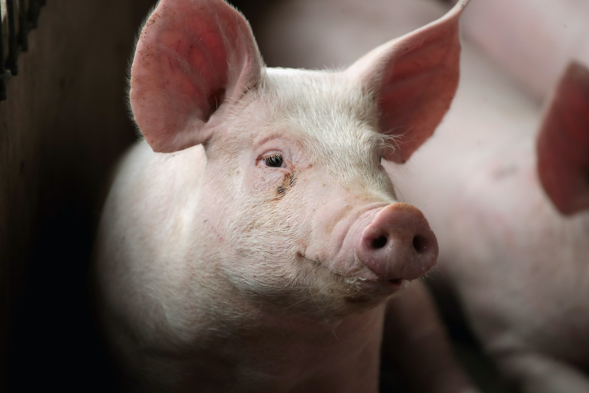 Scientists Revived Dead Pigs' Brain Cells In An Experiment & Here's What You Should Know