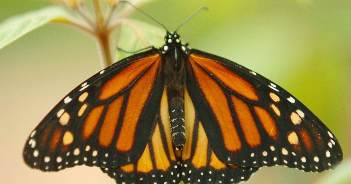 How To Grow A Butterfly Garden In Your Yard By Planting Milkweed